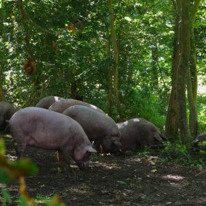 Iberico Schweine von Iberico Westfalia
